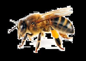 Արդվի. մեղու
