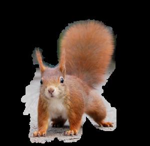 ecureuil détouré